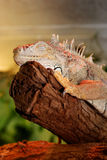 Iguana resting. On a stick royalty free stock photos