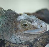 Iguana Resting. On a branch royalty free stock images