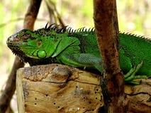 Iguana resting. Close up shoot royalty free stock image