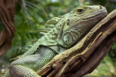 Iguana resting on branch Stock Image