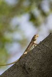A  Iguana resting on a branch in gardens. Stock Photo