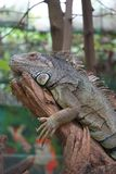 Iguana is resting on the branch royalty free stock image