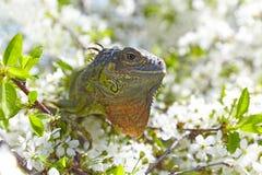 An Iguana Stock Image