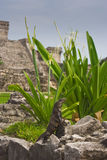 Iguana resting erected in mayan ruins Royalty Free Stock Photos