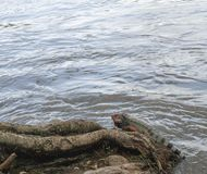 Iguana resting by the river royalty free stock photo