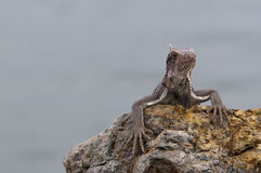Iguana resting on a rock Royalty Free Stock Image