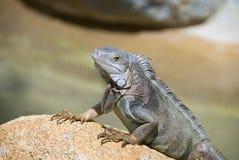 Iguana Resting on a Rock Stock Photo