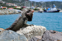 Iguana Resting on Rock Stock Images