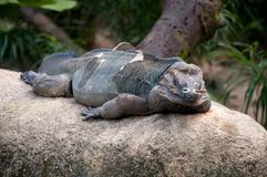 Iguana  resting on rocks Stock Photography