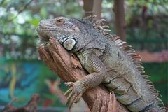 Iguana is resting on the branch stock image