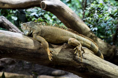 Iguana resting on tree Stock Image