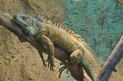 Iguana resting on tree trunk. In the zoo Royalty Free Stock Photography