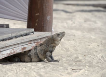 An iguana rests on the beach in Mexico. An iguana rests on the white sand beach in Cancun, Mexico Royalty Free Stock Images
