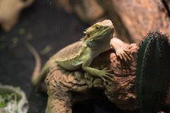Iguana rests on tree roots. Wild life and reptiles. Iguana rests on tree roots, close up. Wild life and reptiles concept. Bearded dragon on natural background Stock Photos