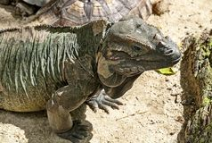 Iguana-Rhino. Their name derives from the bony-plated pseudo-horn or outgrowth which resembles the horn of a rhinoceros. Iguana-Rhino Cyclura cornuta. Their name royalty free stock photography