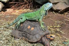 Iguana riding bare back. A green iguana rides on the back of a red footed tortoise. Giddyup and ridem cowboy stock image