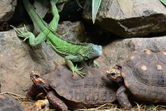 Iguana riding bare back. A green iguana rides on the back of a red footed tortoise. Giddyup and ridem cowboy royalty free stock image