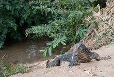 Iguana on riverbank. Iguana with blue tongue crawls on riverbank Stock Photography