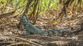 Iguana in riverbank of Brazilian Pantanal Stock Photography