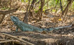 Iguana in riverbank of Brazilian Pantanal Royalty Free Stock Photos