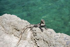 Iguana on a rock Stock Photos