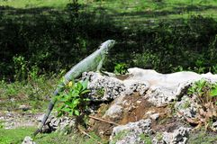 Iguana on rock Stock Images
