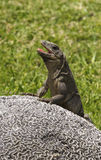 Iguana on the rock Royalty Free Stock Photos