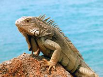 Iguana. On the rock,Aruba stock photography