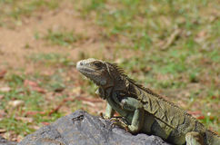 Iguana on a Rock in Aruba Stock Photos