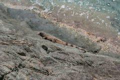 Iguana on Rock Horizontal Stock Photography