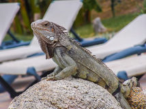 Iguana on a rock. This Iguana lives on the beautiful island Aruba Stock Image