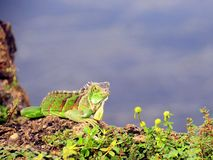 Iguana on rock over water, Florida Royalty Free Stock Photography