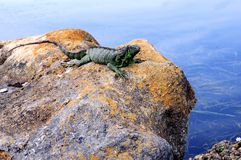 Iguana on rock over water in Florida Royalty Free Stock Images