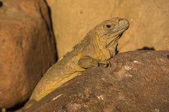 Iguana on a rock Royalty Free Stock Image
