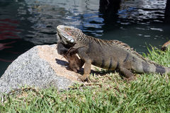 Iguana on rock Stock Photography