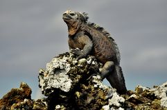 An Iguana on a rock. An iguana sitting on a lava rock, Galapagos Islands, Ecuador stock photo