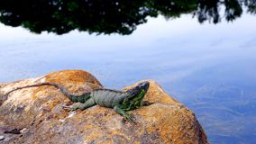 Iguana on rock & trees reflecting in water, Florida Royalty Free Stock Images