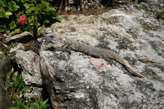 Iguana on rock. Wild iguana sunning itself on a rock Stock Photography