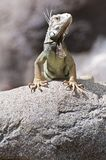 Iguana on the rocks Royalty Free Stock Image