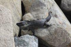 Iguana on Rocks Royalty Free Stock Photography