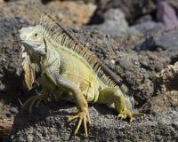 Iguana on the rocks Royalty Free Stock Photography