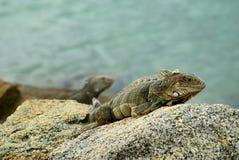 Iguana on the Rocks Stock Photography