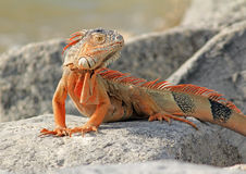 Iguana on Rocks Stock Photo