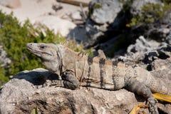 Iguana on the Rocks. An iguana sunning himself on the rocks royalty free stock photography