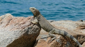 Iguana at the rocks Royalty Free Stock Photography