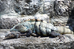 Iguana on the rocks with baby Royalty Free Stock Photos