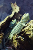 Iguana on rocks Royalty Free Stock Photo