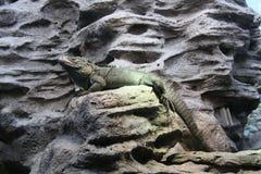 Iguana on rocks stock image