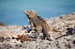 Iguana. On the rocks in island called Cayo Largo in Cuba Royalty Free Stock Photography