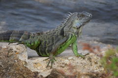 Iguana on the rocks Royalty Free Stock Photo